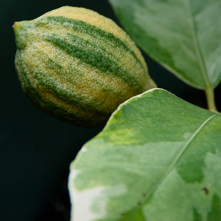 Variegated Lemon